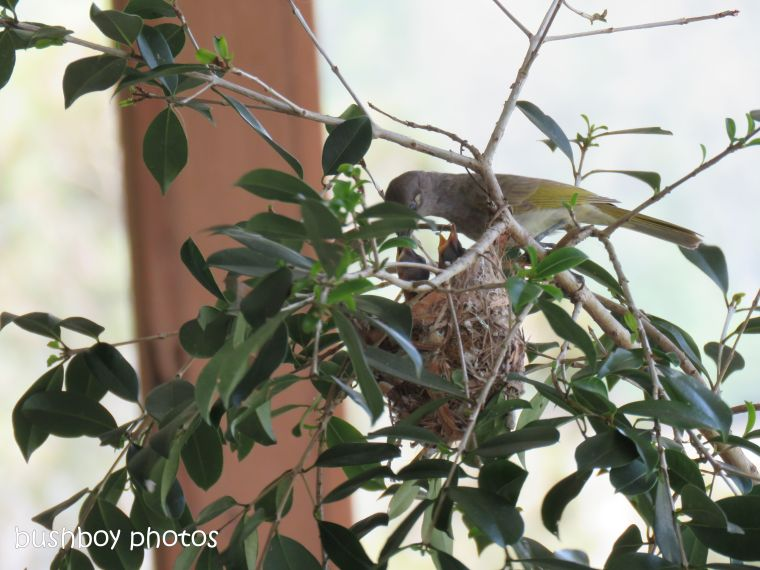 181214_brown honeyeater_nest_feeding2