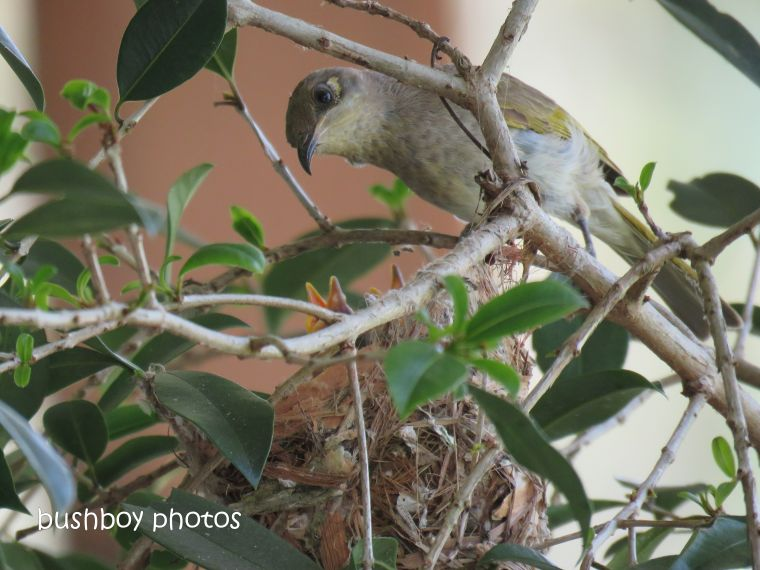 181214_brown honeyeater_nest_feeding_spotted