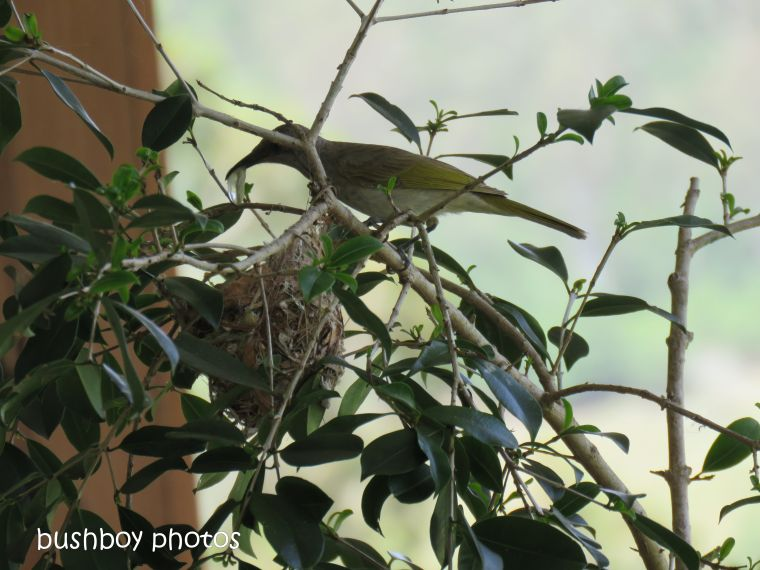 181214_brown honeyeater_nest_poo_sac
