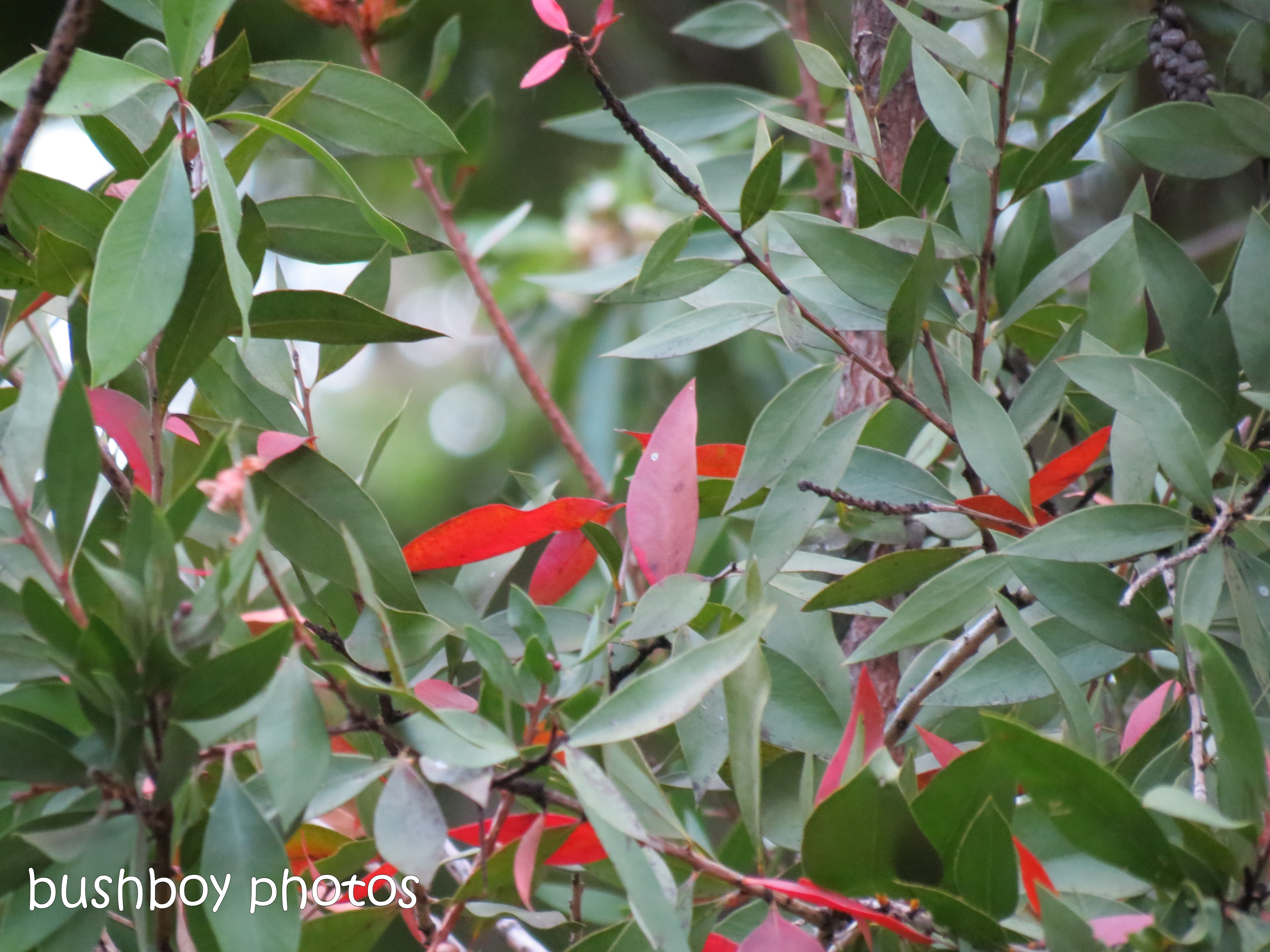 181218_blog challenge_leaves_red_quandong