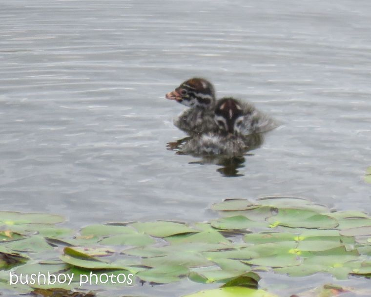 australasian grebe_chick_wetland_named_casino_nov 2018