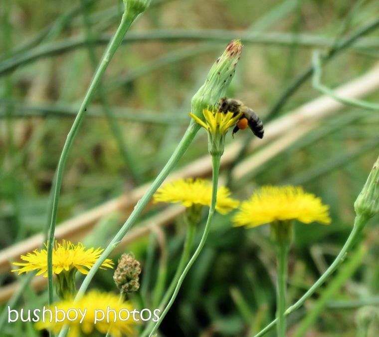 bee_dandelion_flower_garden_named_caniaba_dec 2018