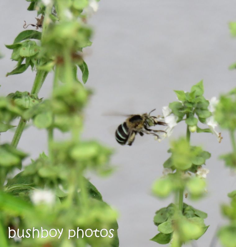 blue-banded_bee_basil_garden_named_caniaba_dec 2018
