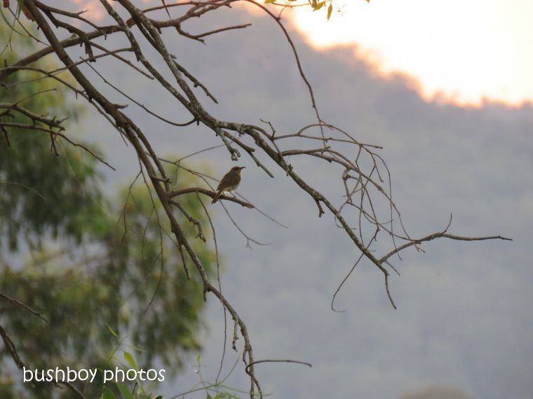 brown honeyeater_branches_named_caniaba_dec 2018