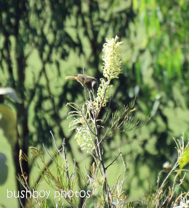 brown honeyeater_grevillea_white_flower_garden_named_caniaba_dec 2018