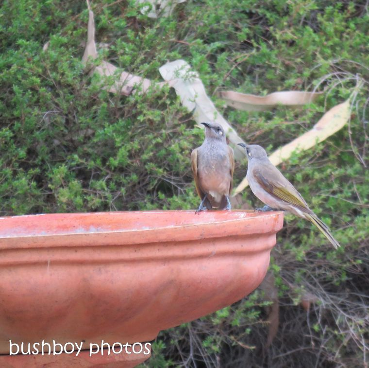 brown honeyeaters_adult_child_bird bath_named_caniaba_dec 2018