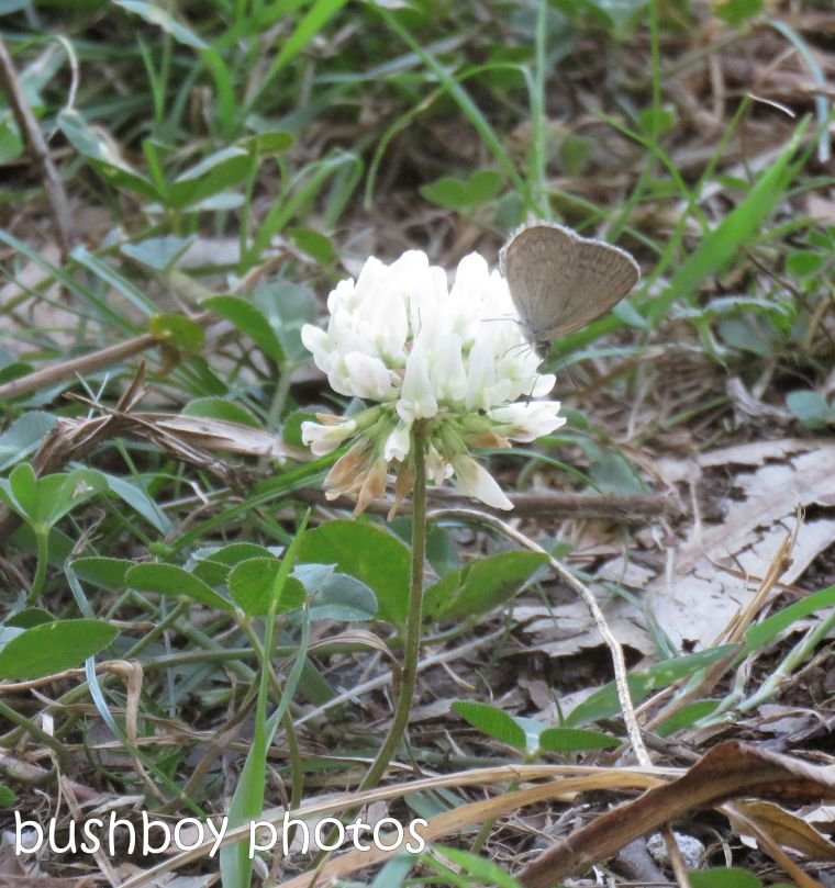 butterfly_line-blue_clover_flower_garden__named_caniaba_dec 2018