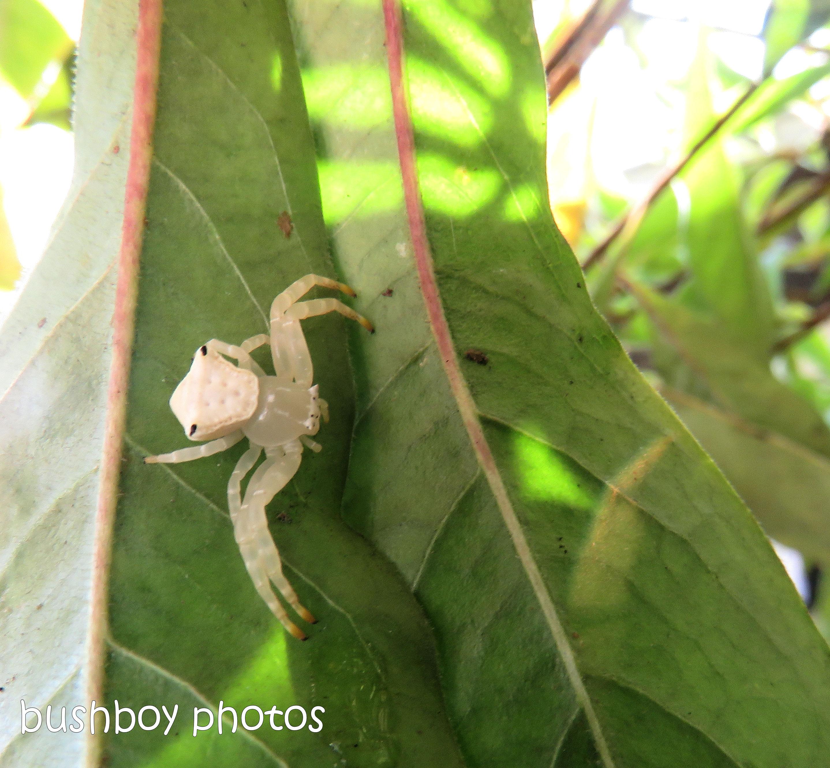 crab_spider_ghost_leaf_garden_named_home_nov 2018