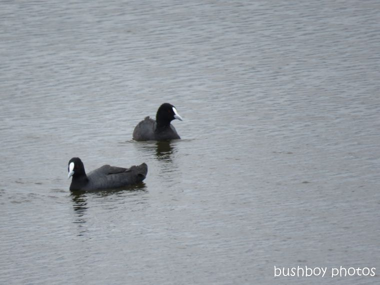 eurasian coots_wetland_named_casino_nov 2018