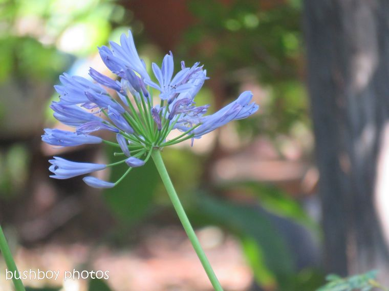 flower_agapanthus_blue_garden_named_home_dec 2018