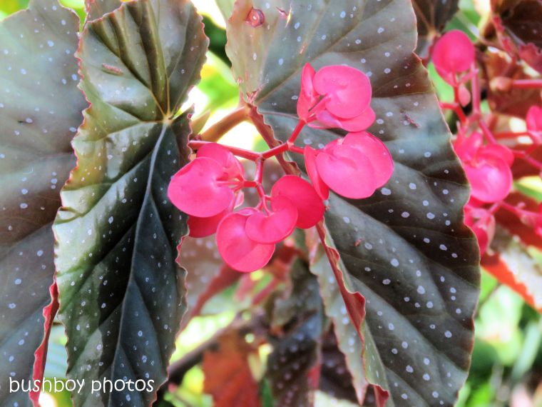 flower_begonia_tree_garden_named_home_dec 2018