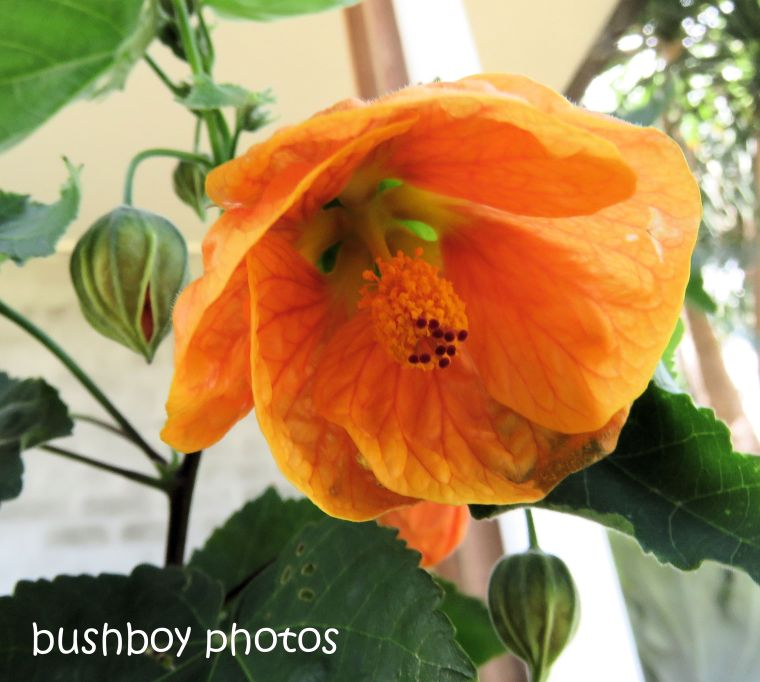 flower_chinese_lantern_pot_named_caniaba_dec 2018