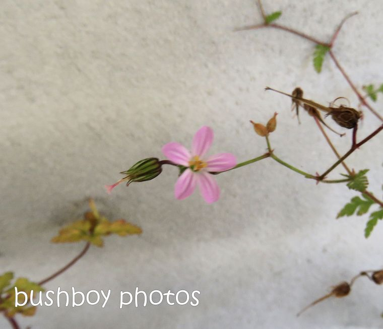 flower_herb_robert_pot_named_caniaba_dec 2018