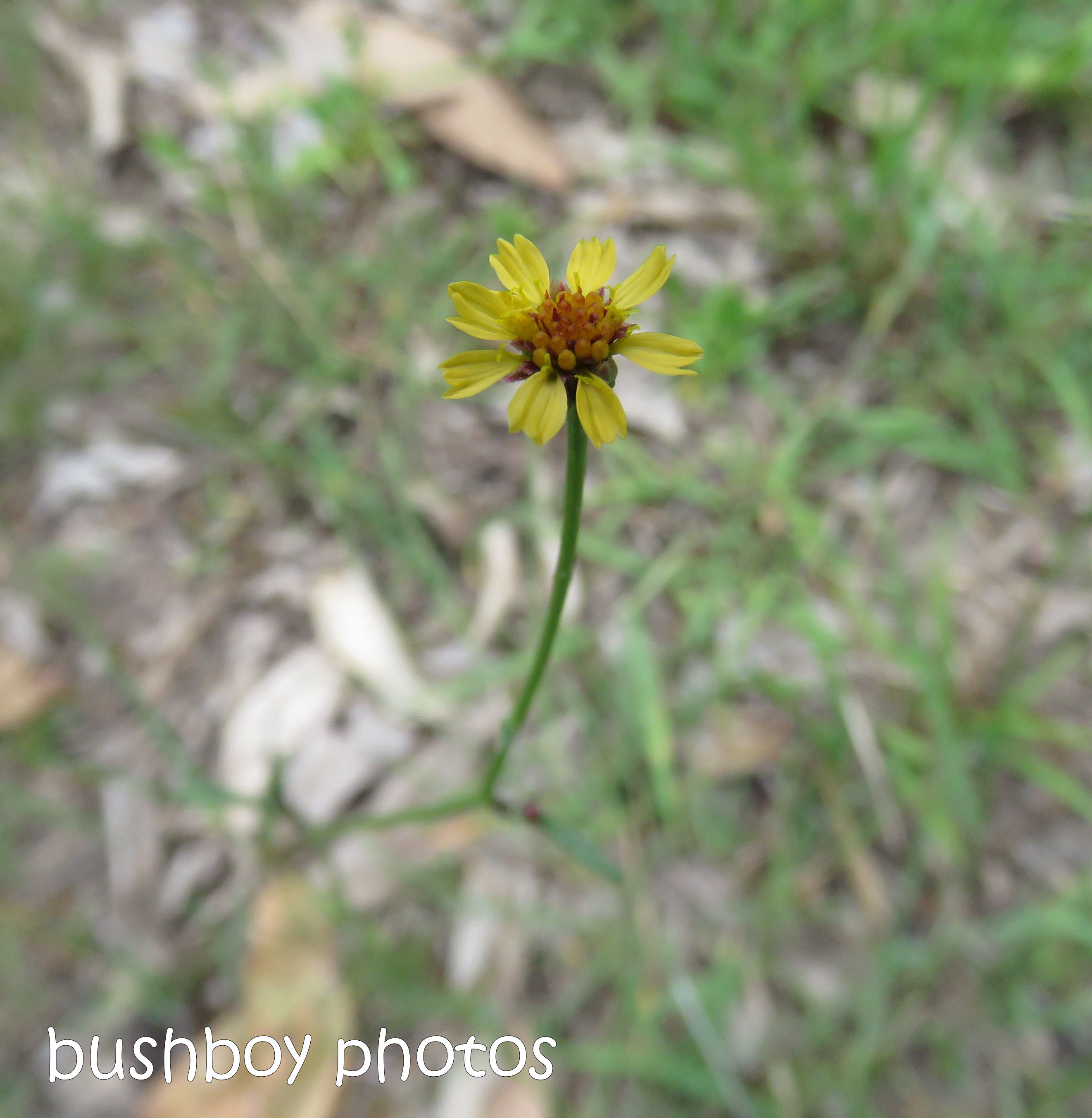 flower_native_yellow_small_named_home_nov 2018