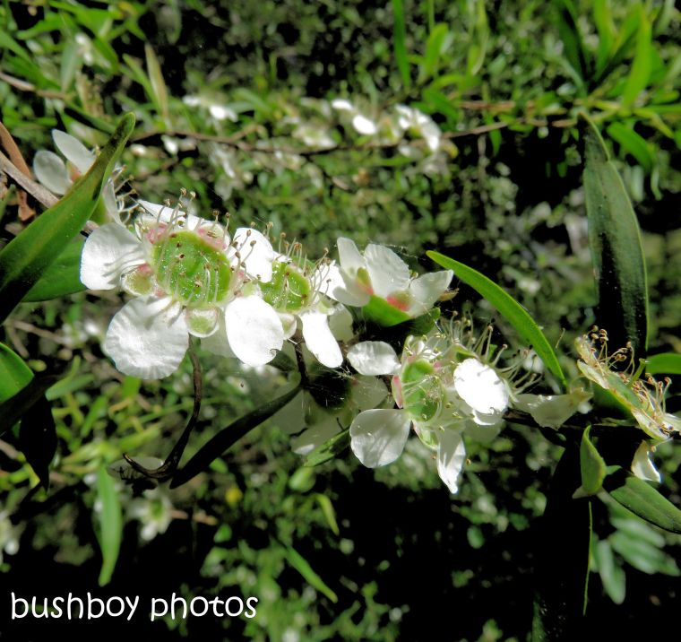 flower_tea tree_garden_named_home_dec 2018