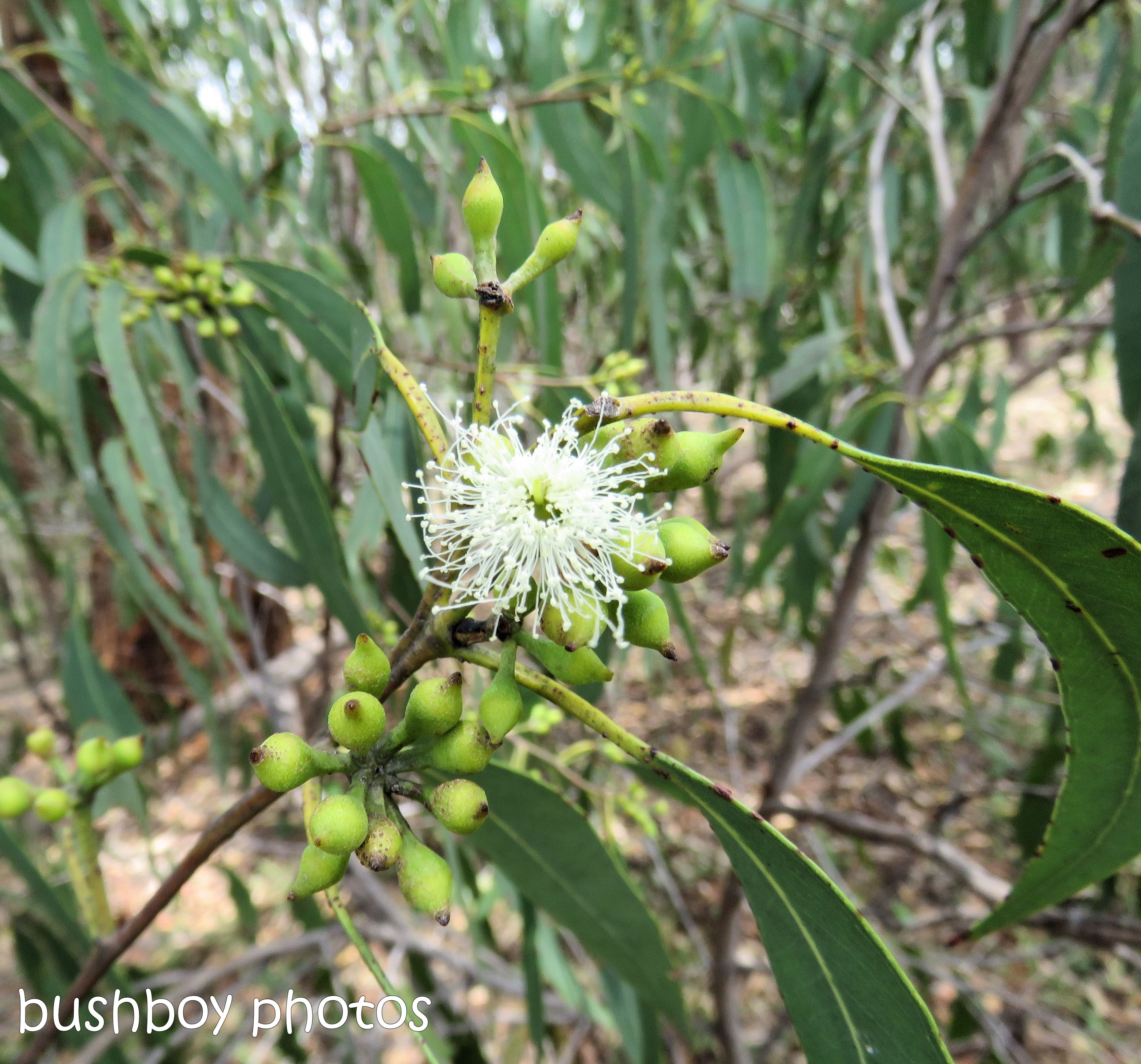 flowers_native_eucalypt_tallowwood_named_home_nov 2018