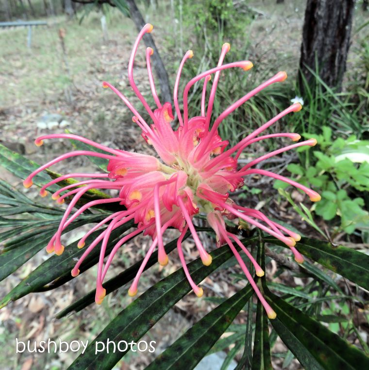 grevillea_robin gordon_flower_named_home_nov 2018