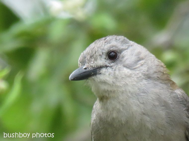 grey shrike thrush_close_garden_named_home_nov 2018