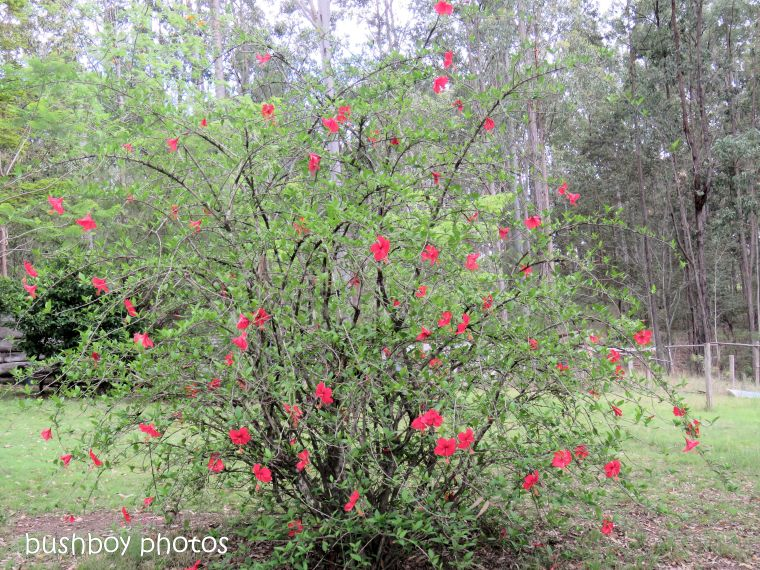 hibiscus_red_bush_flower_named_home_nov 2018