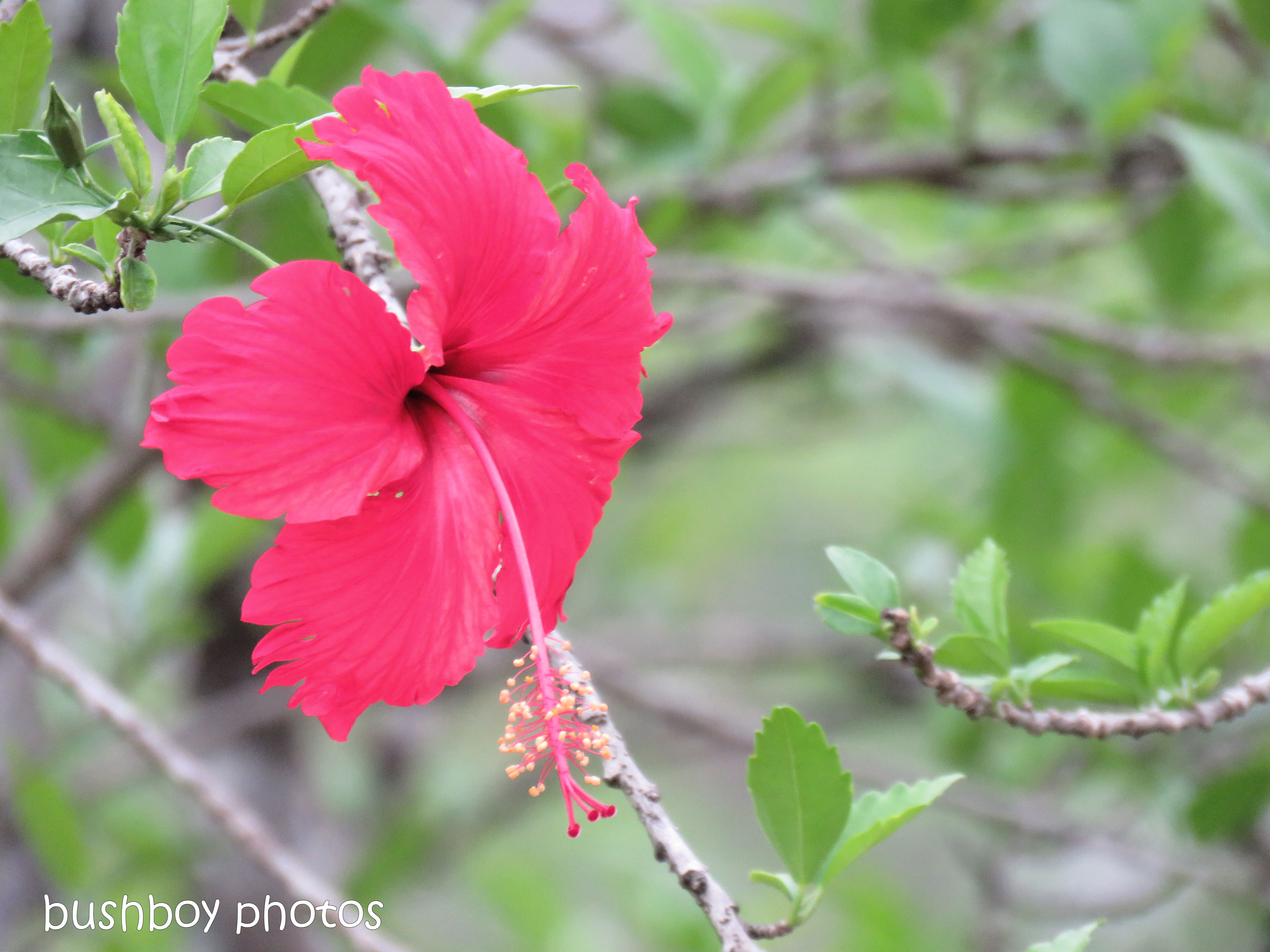 hibiscus_red_flower_named_home_nov 2018
