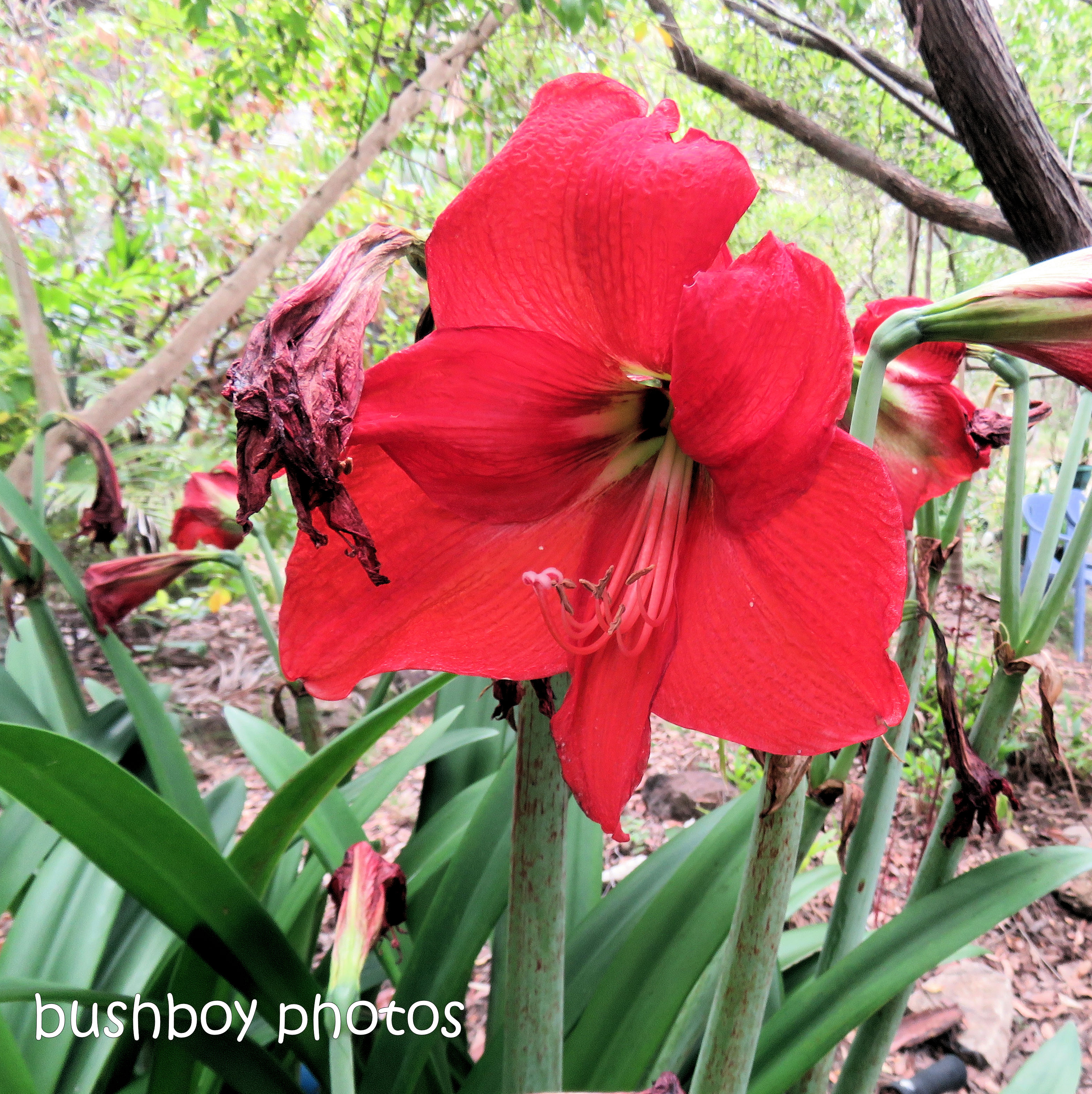 hippeastrum_flower_named_home_nov 2018