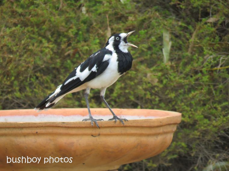 magpie lark_bird bath_garden_named_caniaba_dec 2018