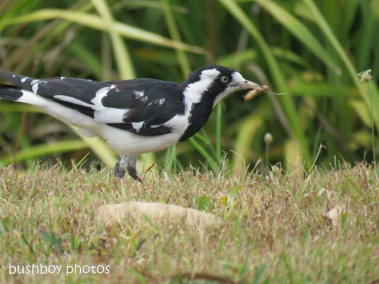 magpie lark_grub_garden_named_caniaba_dec 2018