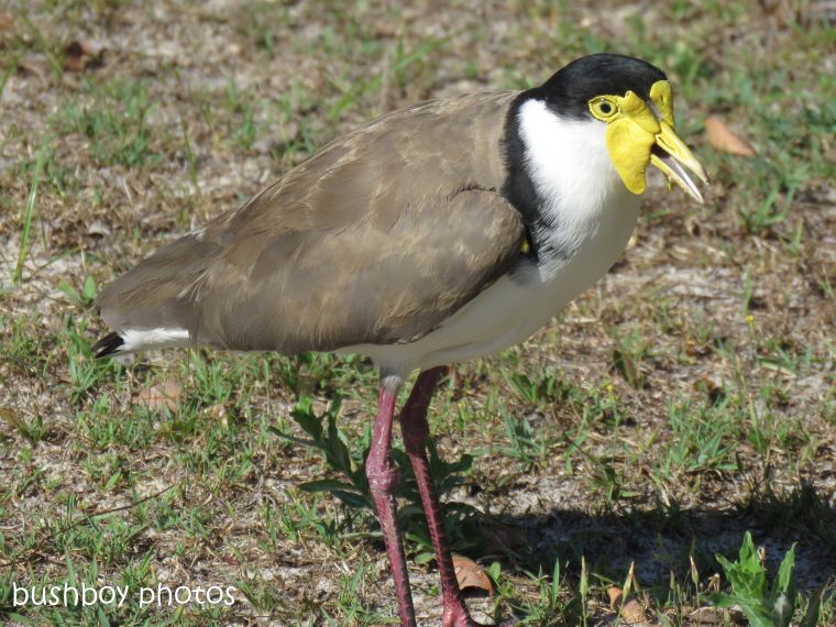 masked lapwing_named_brooms head_nov 2018