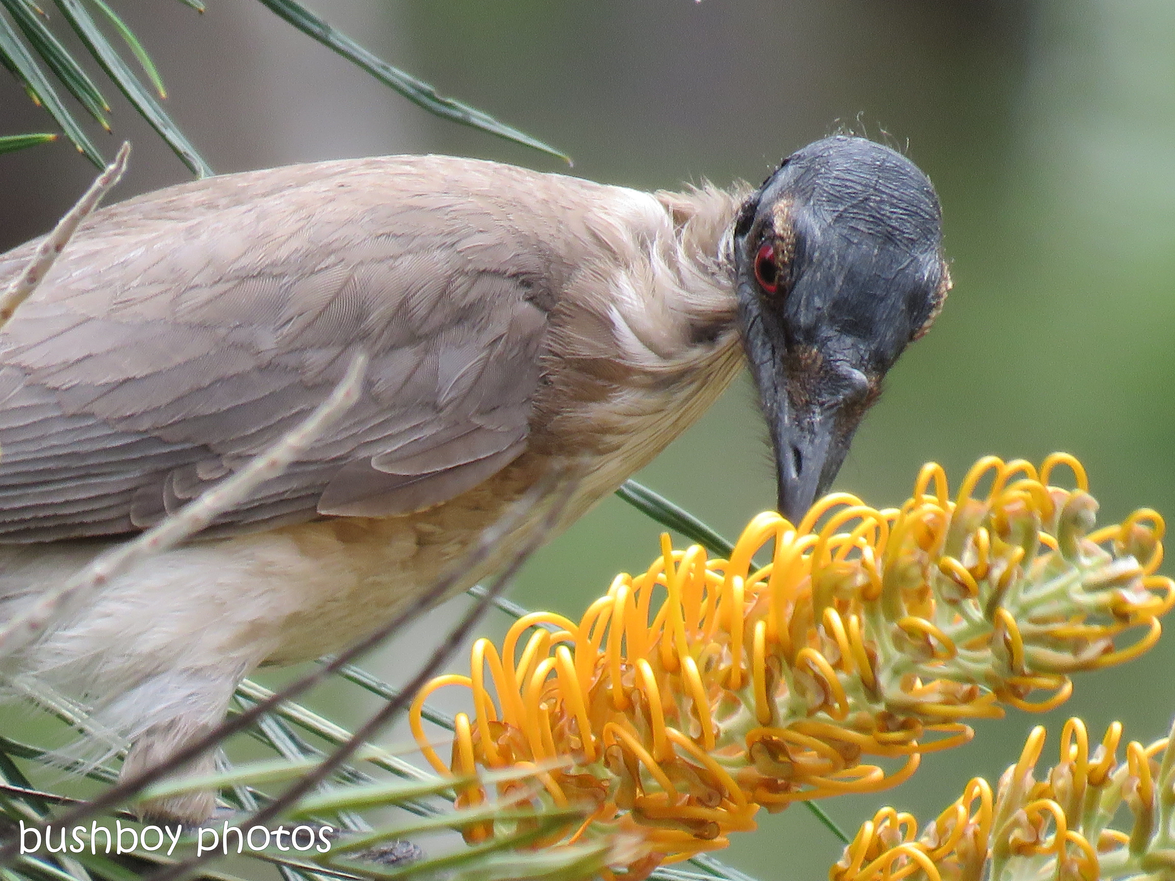 noisy friarbird_honey gem_grevillea_named_home_nov 2018
