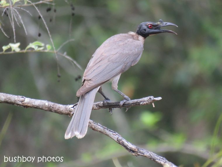 noisy friarbird_tree_named_home_nov 2018