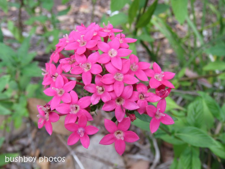 pentas_red_flower_named_home_nov 2018