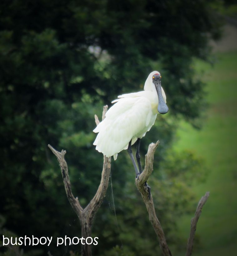 royal spoonbill_tree_named_lawrence_nov 2018