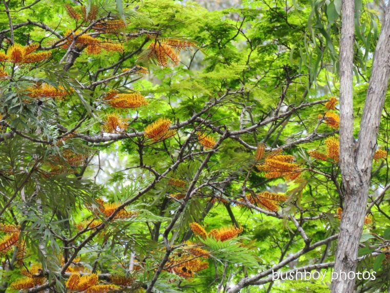 silky oak_flower_named_home_nov 2018