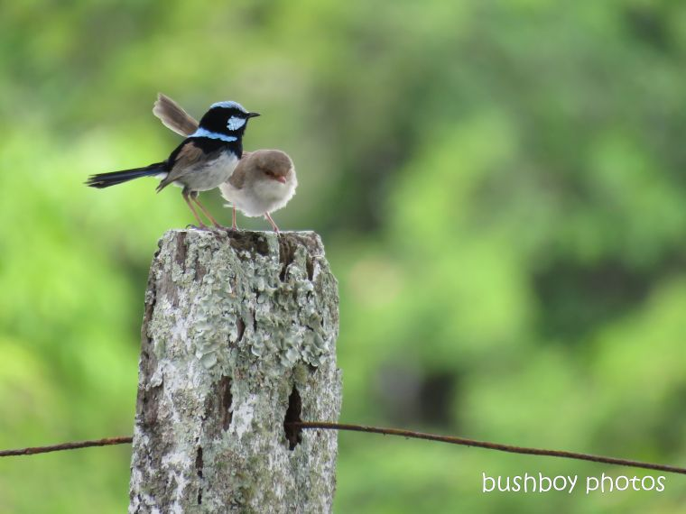 superb fairy wrens_named_lookout_mallanganee_nov 2018