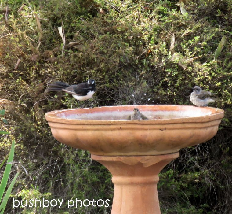 willie wagtail_brown honeyeaters__bird bath_garden_named_caniaba_dec 2018