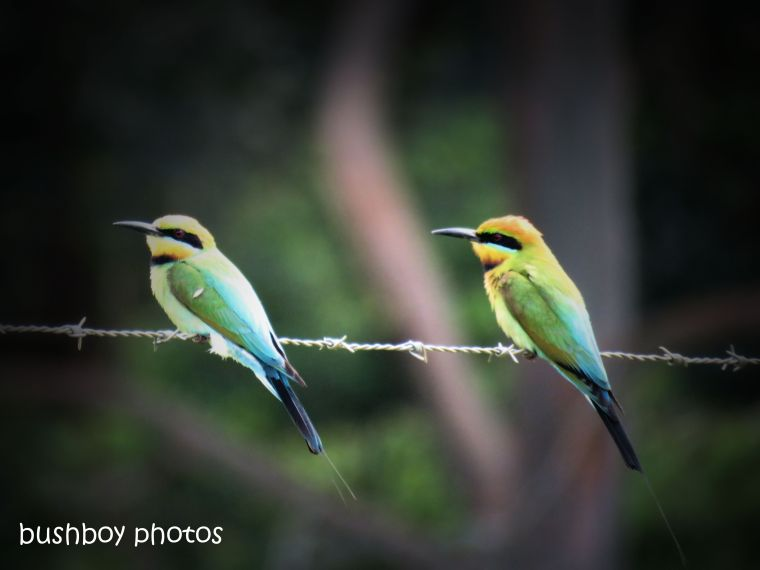 190107_blog_challenge_birds_rainbow_bee-eaters