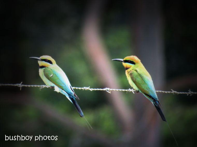 190107_blog_challenge_birds_rainbow_bee-eaters