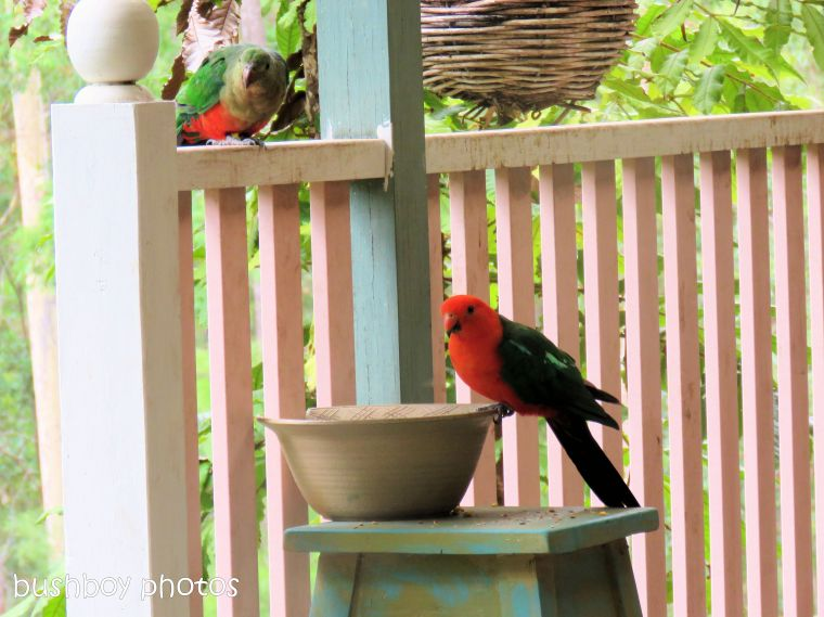 190110_blog_challenge_pairs_king_parrots1