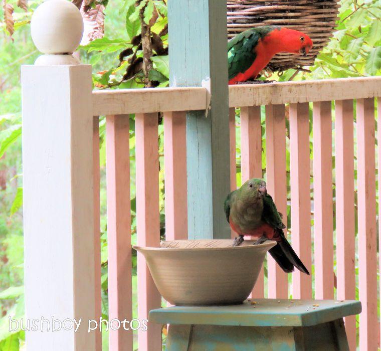 190110_blog_challenge_pairs_king_parrots2