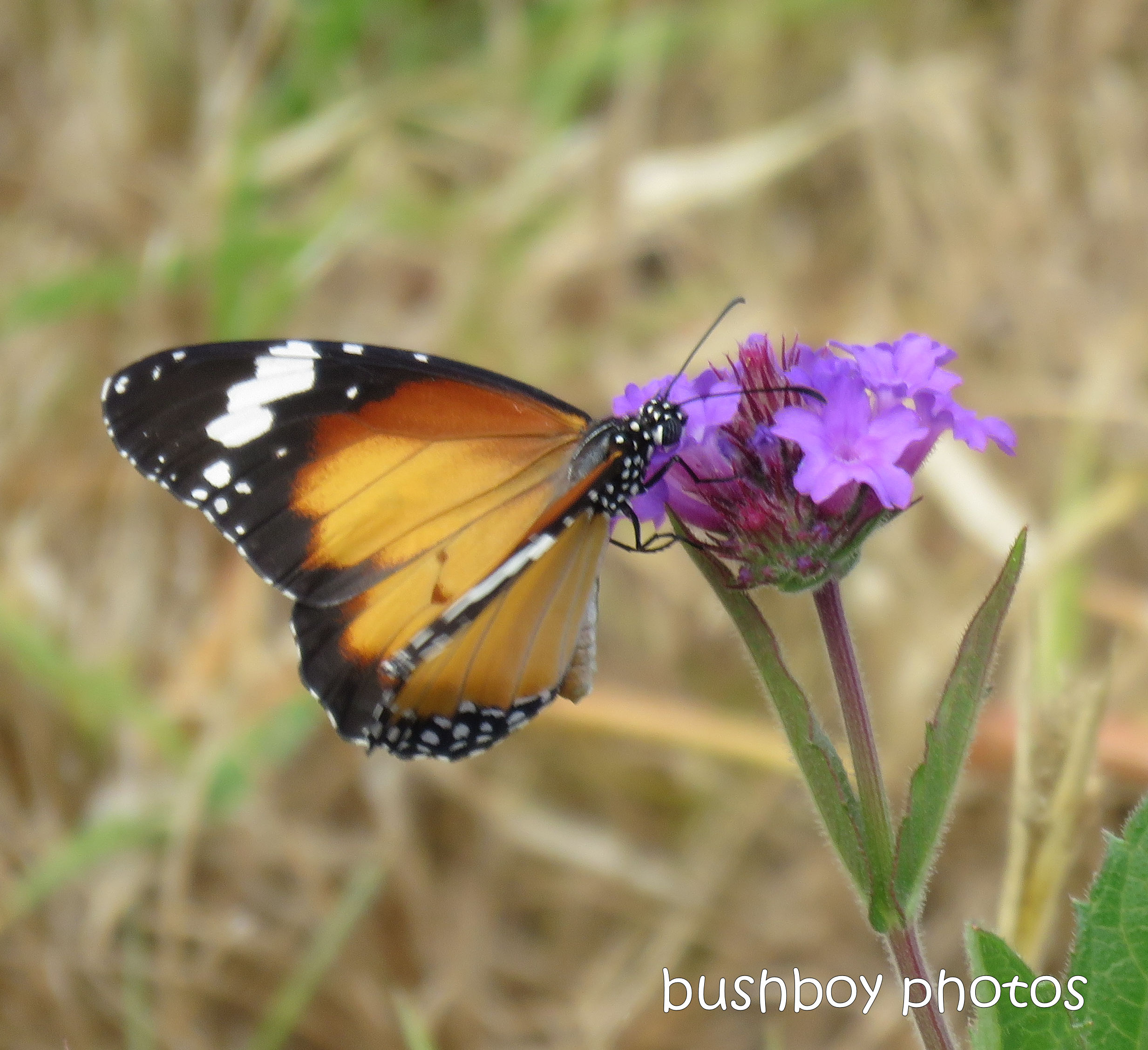 190116_wordless_wednesday_butterfly