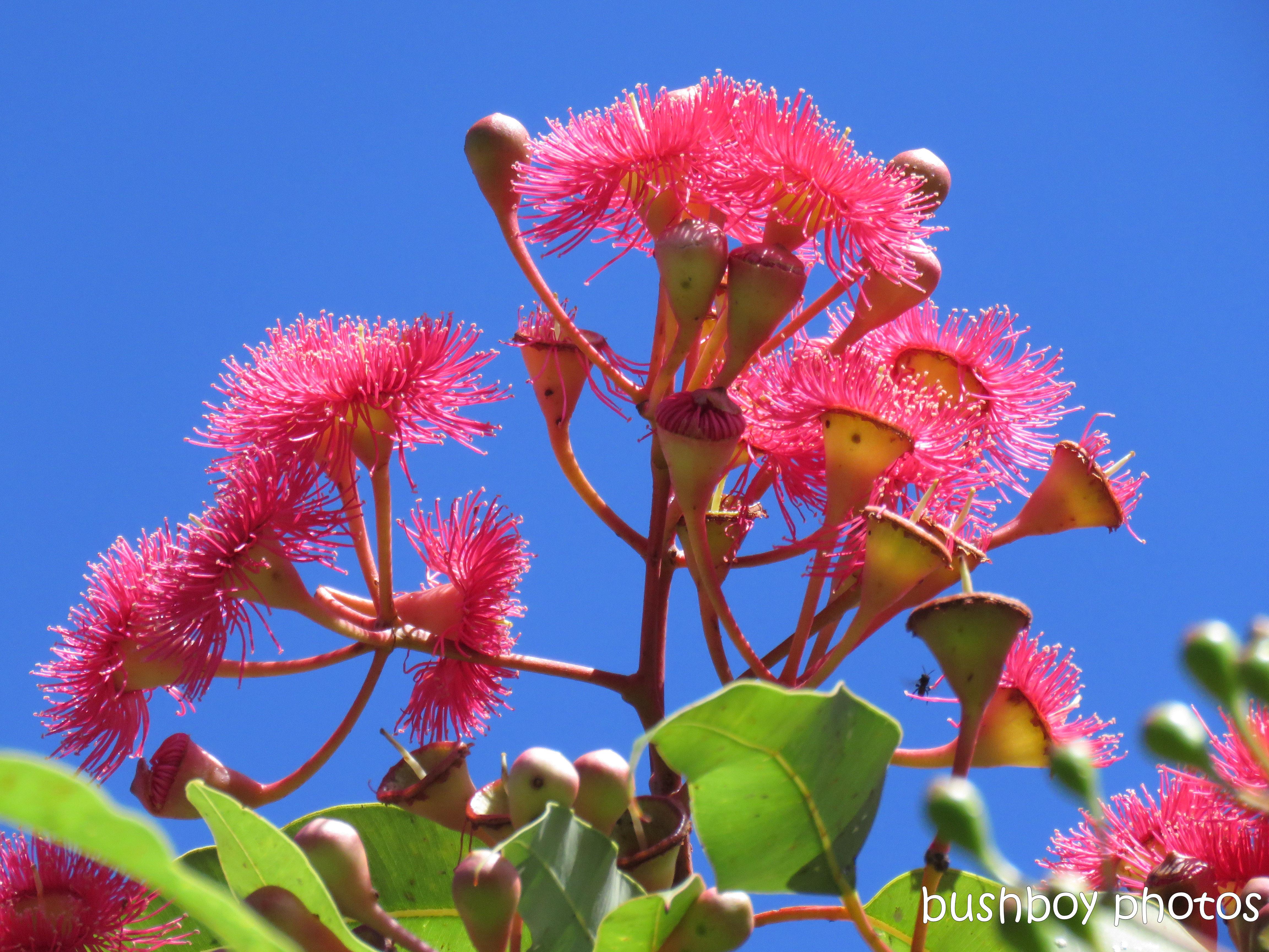 190127_blog_challenge_contrasting_colours_eucalypt_flower_sky