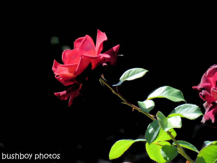 190130_blog_challenge_rose_red_toowoomba