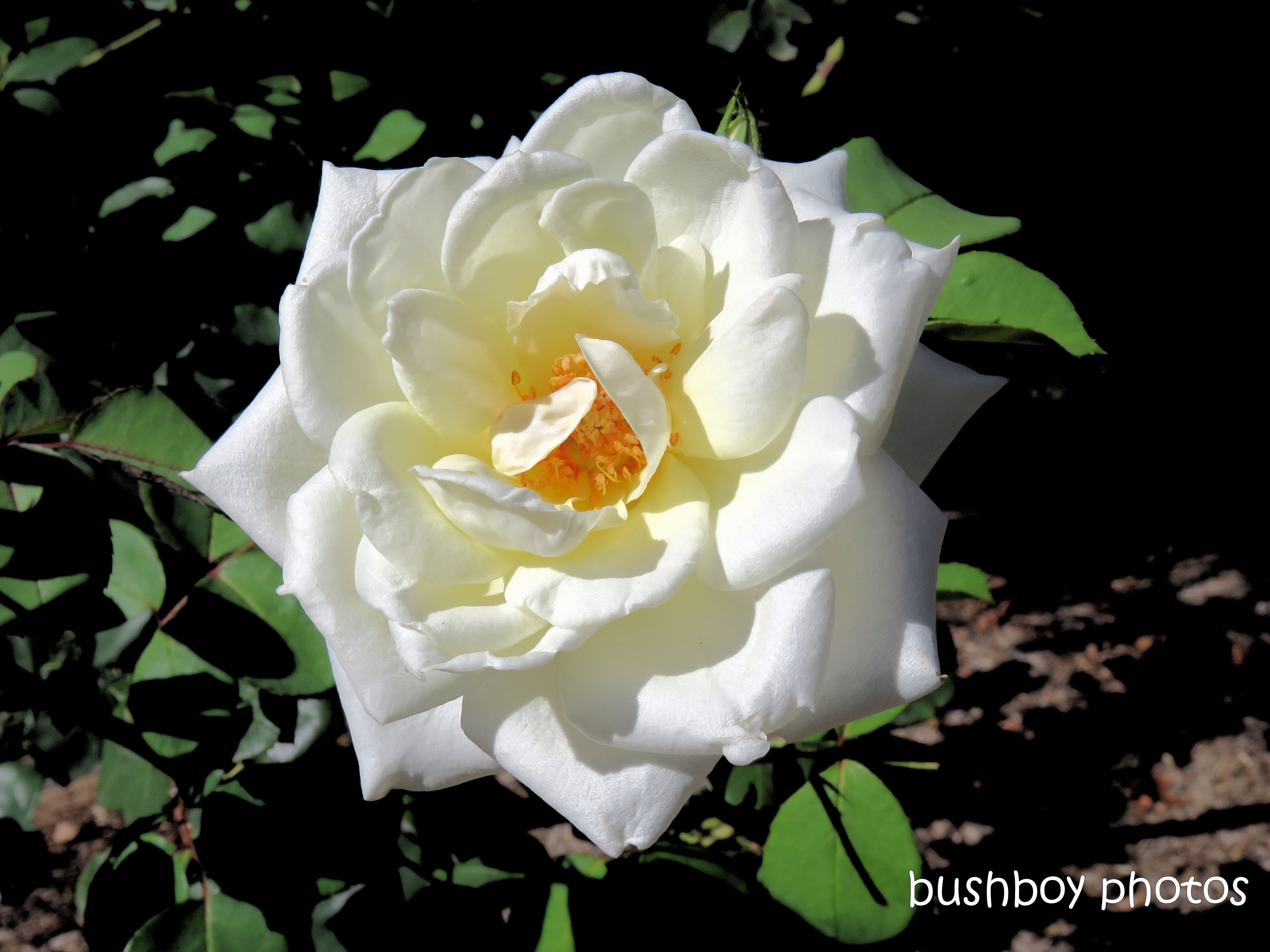 190130_blog_challenge_rose_white_toowoomba