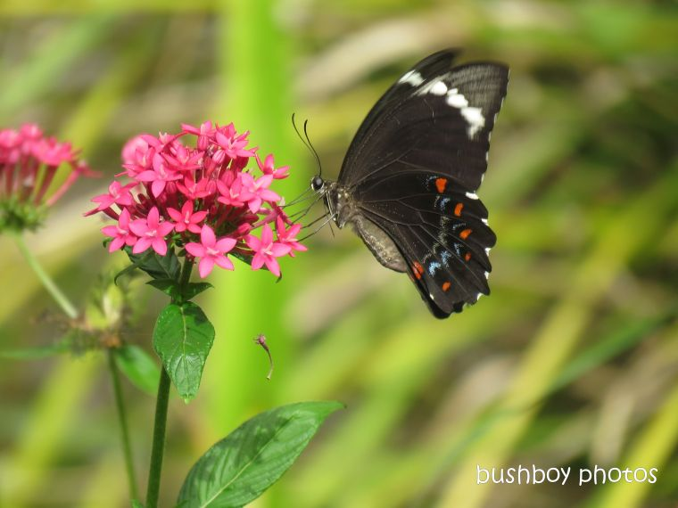 190213_wordless_wednesday_orchard_swallowtail_butterfly