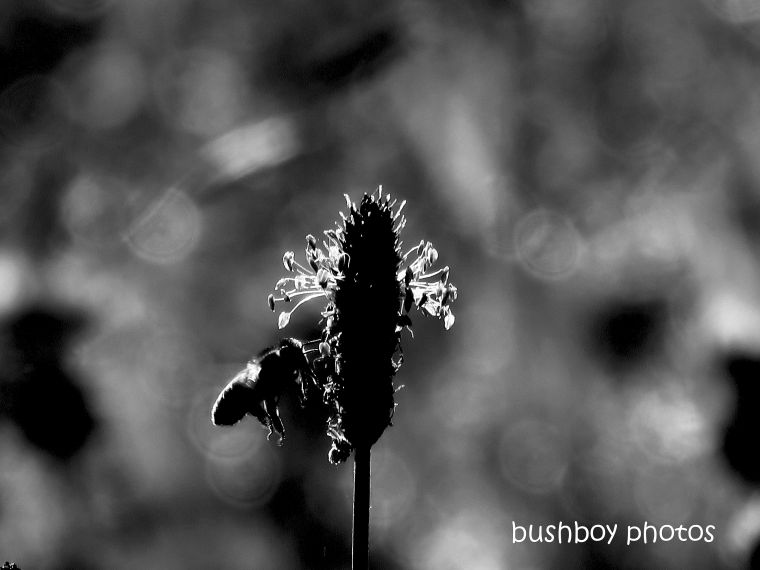 190214_blog_challenge_mid-week_monochrome_bee_grass_flower
