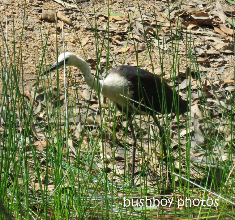 190223_blog_challenge_six_word_saturday_pacific_heron1