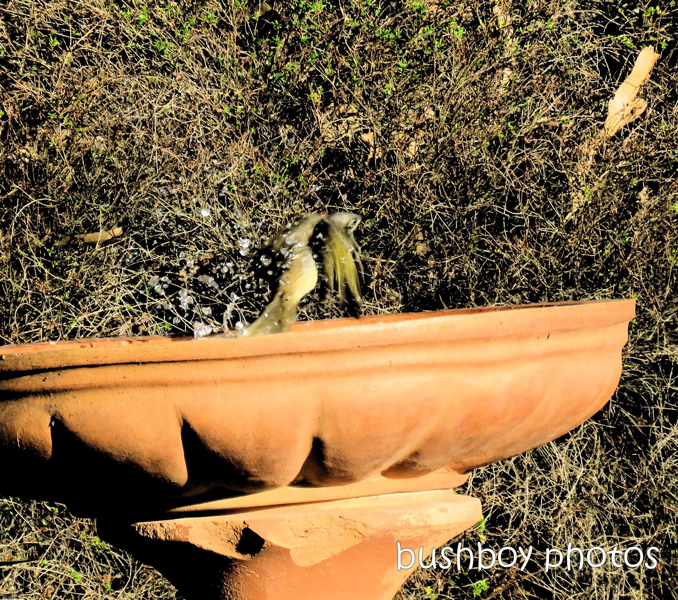 190224_blog_challenge_movement_bird_bath_lewins_honeyeater