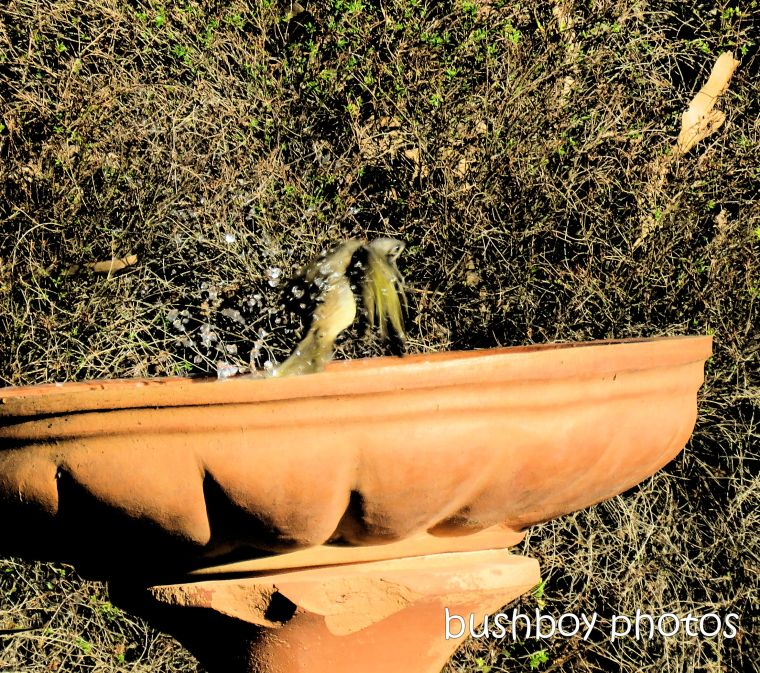190224_blog_challenge_movement_bird_bath_lewins_honeyeater