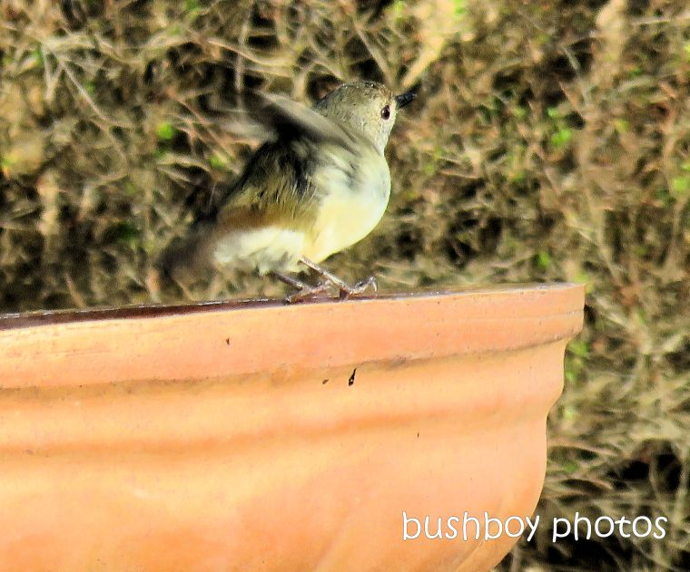 190224_blog_challenge_movement_bird_bath_thornbill
