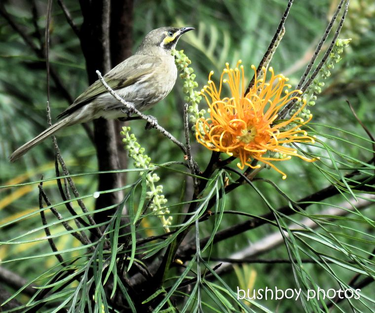 190227_wordless_wednesday_yellow-faced_honeyeater_grevillea